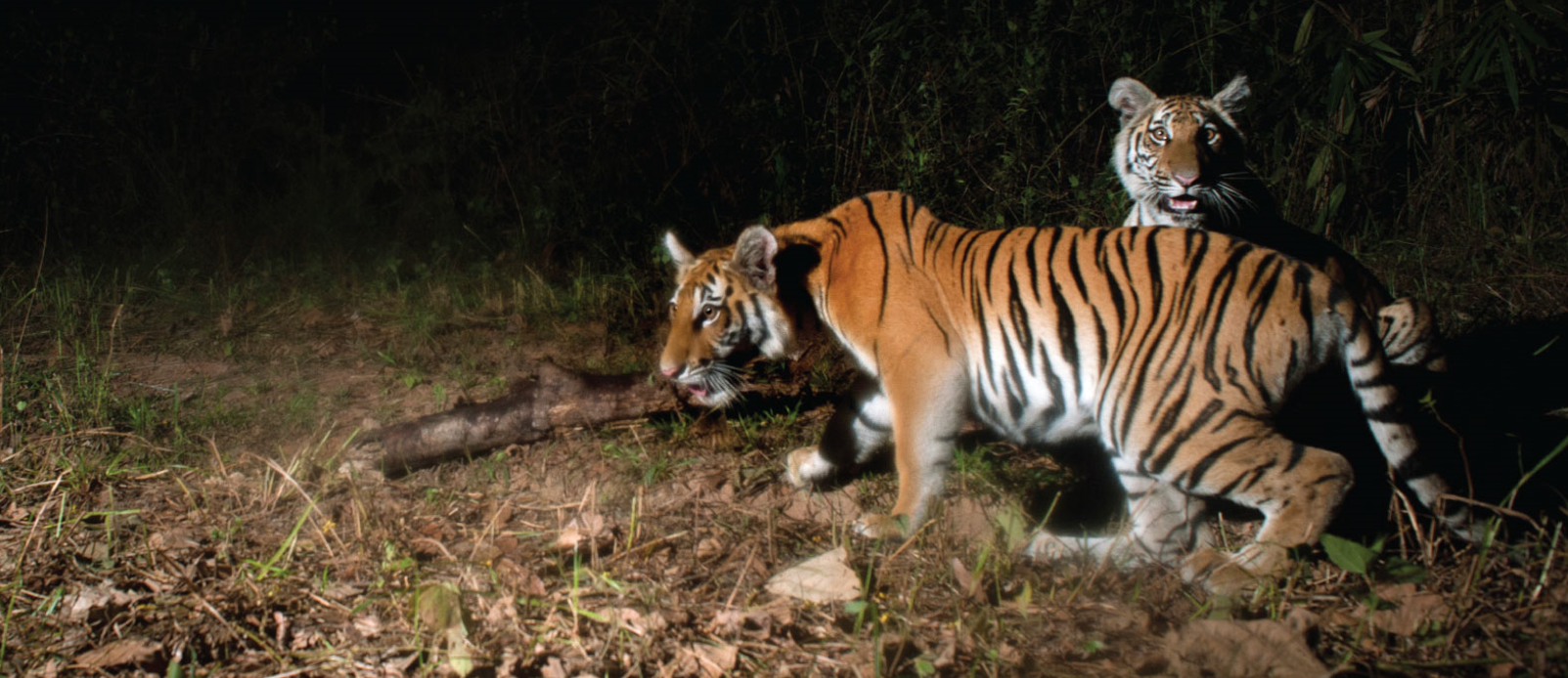 Photos of wild tiger cubs in Thailand rekindles hope for species