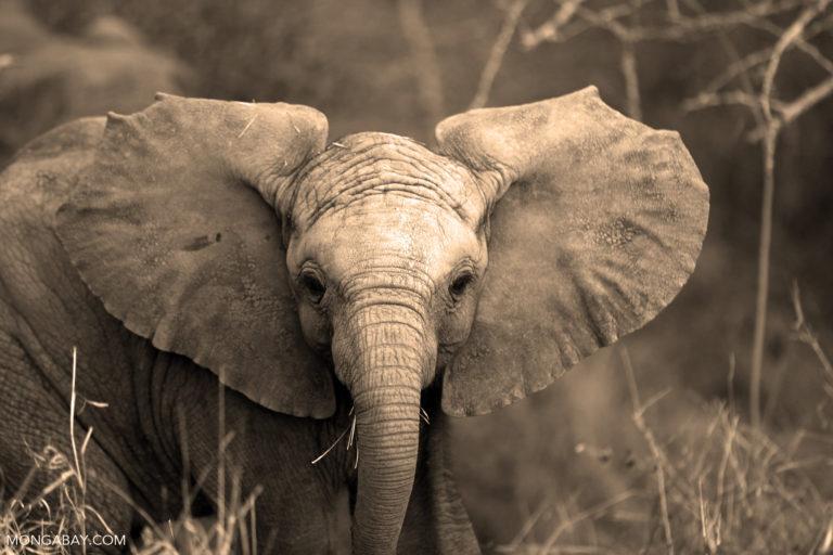 Elephant in South Africa. Photo by Rhett A. Butler.