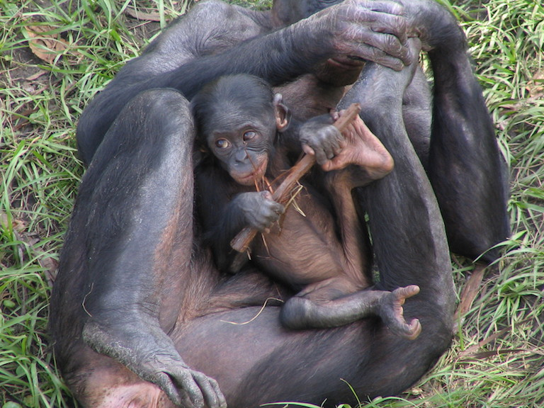 A juvenile bonobo reclines on atop an adult. Females can go six years between births, and young bonobos stay close to their mothers for the first years of their lives. Image by pelican via Flickr (CC BY-SA 2.0).