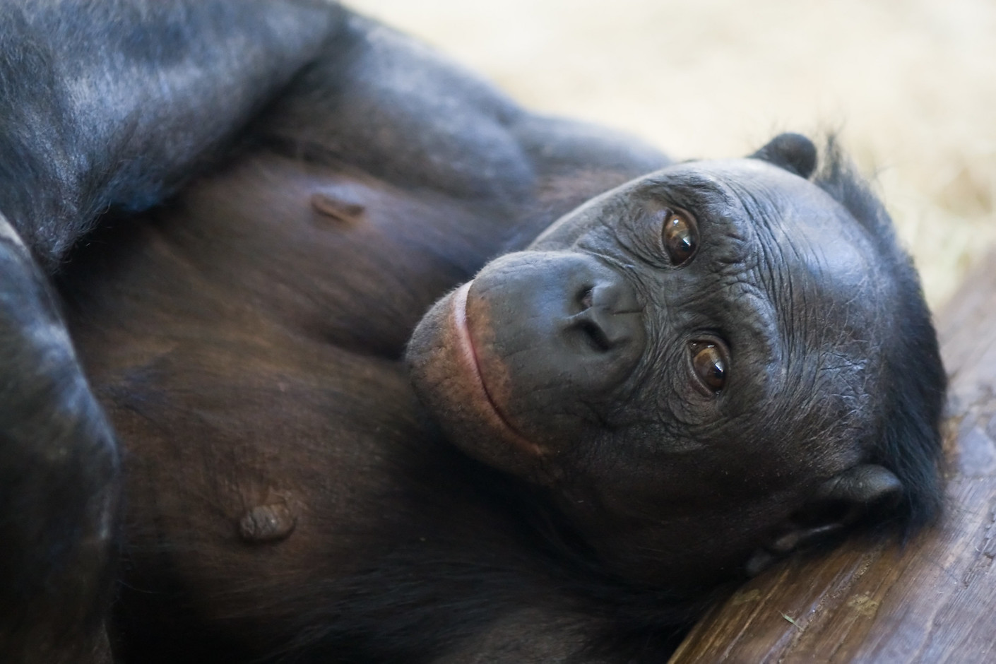 Images from a dropped phone reveal the ugly truth behind bonobo trafficking