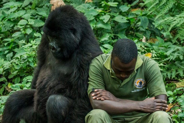 ICCN ranger with a gorilla in Virunga National Park, DRC. Image courtesy Nelis Wolmarans.