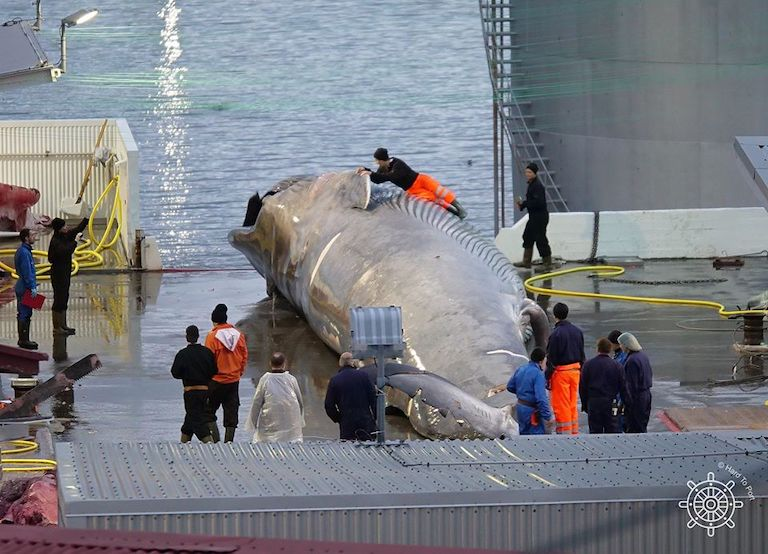 Iceland won't be killing any whales this year