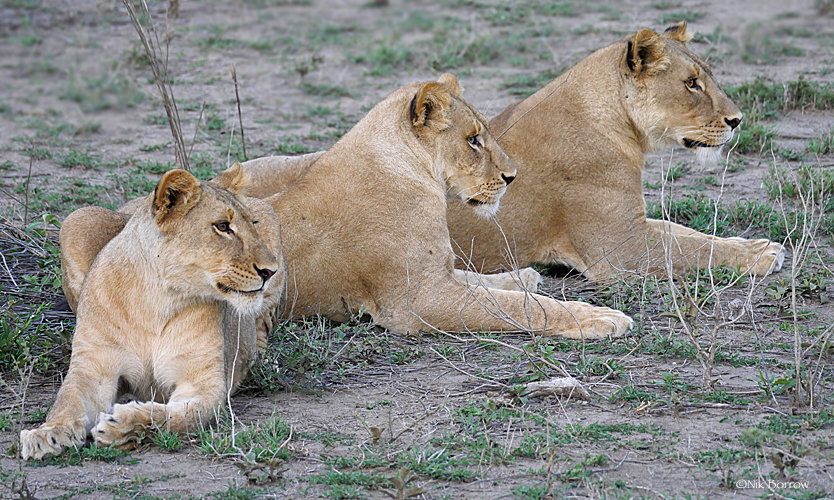 Lions: inadequately protected parks suffer degradation of valuable habitat and lose charismatic large species. Image by Nik Borrow via Flickr (CC BY-NC 2.0)