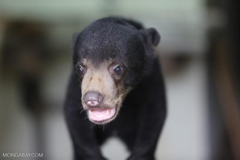 A rescued sun bear in Malaysia. Photo by Rhett A. Butler.