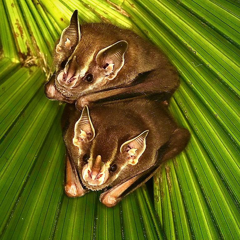 Artibeus phaeotis bats. Photo by Adrian Forsyth
