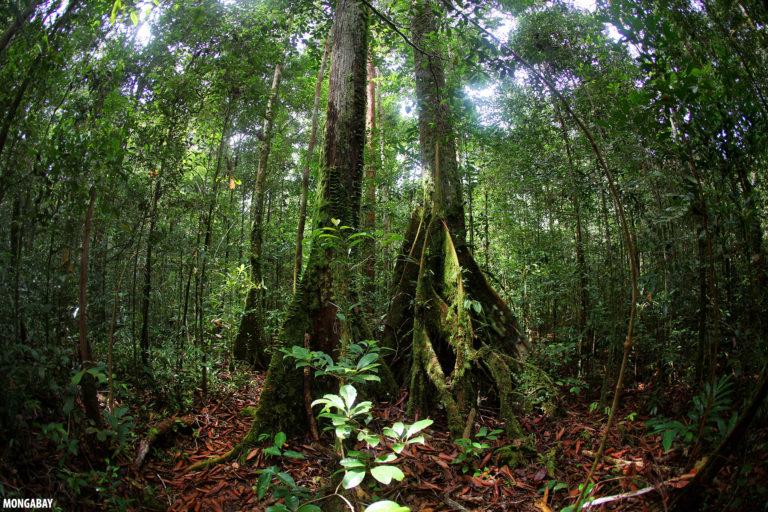 Rainforest in Gunung Palung National Park, Ketapang, West Kalimantan.