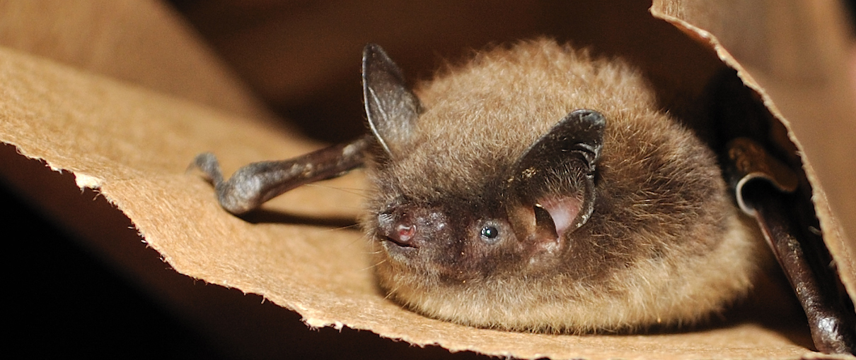 Endangered bats are evolving to fight off an exotic fungal disease