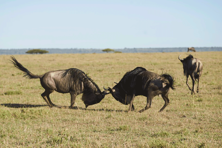 Wildebeest. Photo by Felipe Rodriguez.