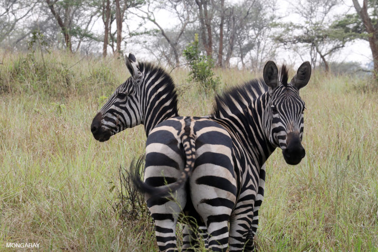 Zebra in Rwanda. Photo by Rhett A. Butler
