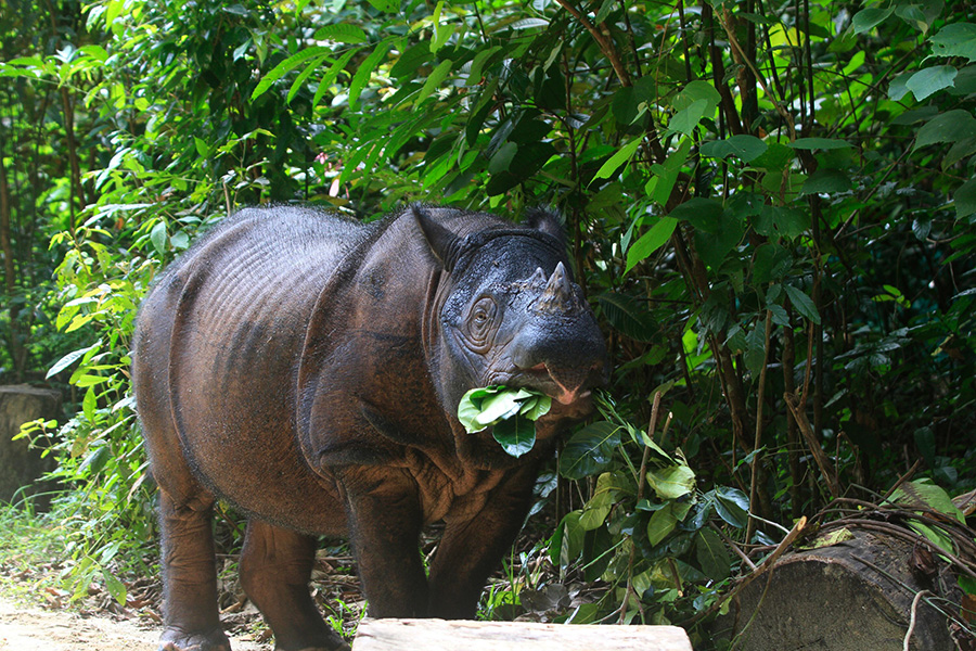 Planned road projects threaten Sumatran rhino habitat, experts say
