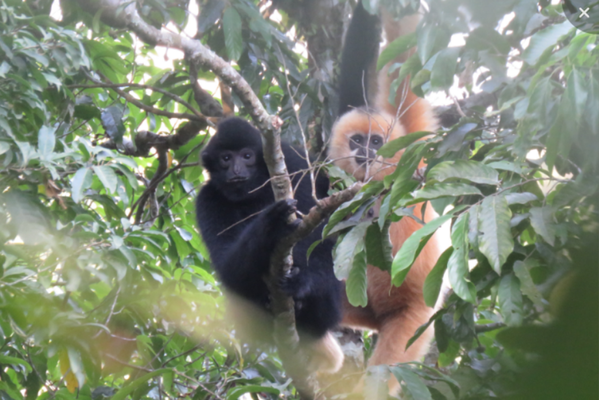 When the world's rarest primate, the Hainan gibbon couples up, it's a win for the species
