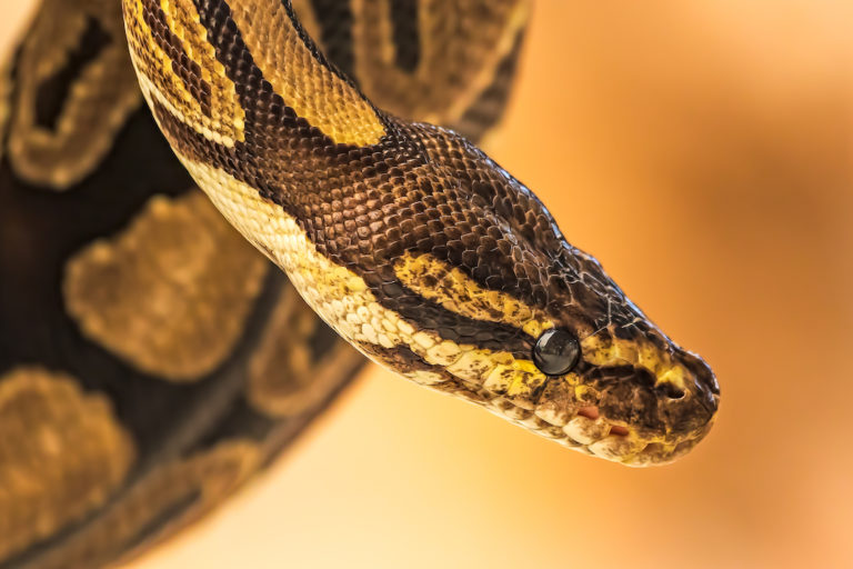 Prized as pets, are ball pythons being traded out of wild existence?