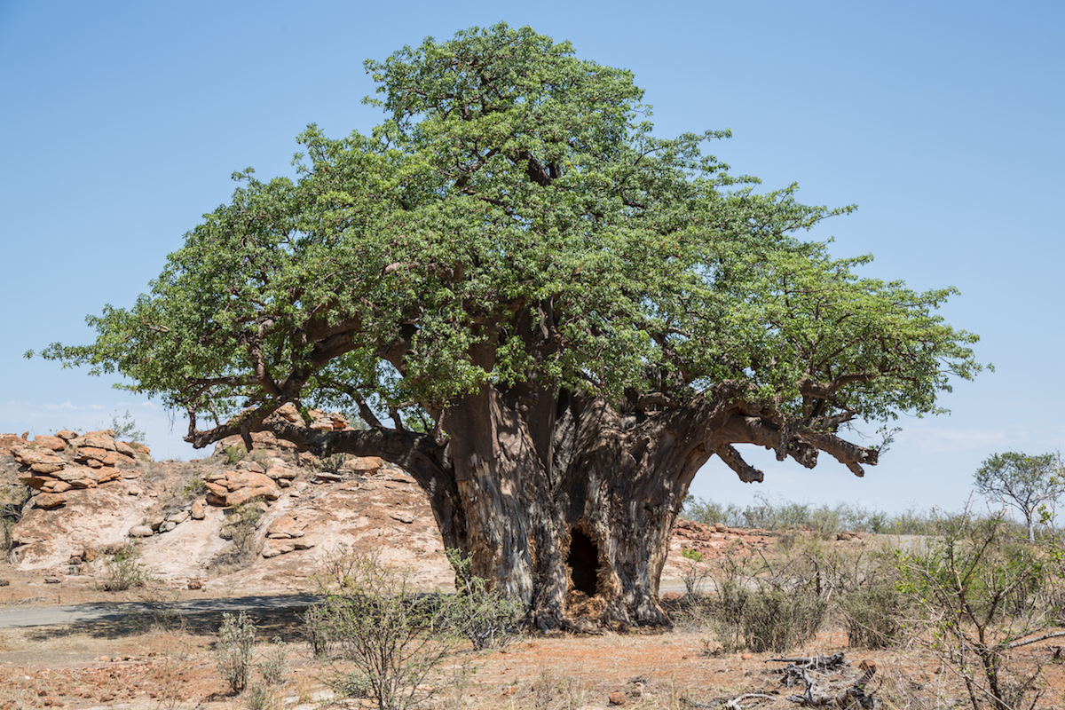 The largest baobab in the Mapungubwe National Park, South Africa. In 2010, there was no elephant damage on this tree. Image by Nathalie Betrams for Mongabay.