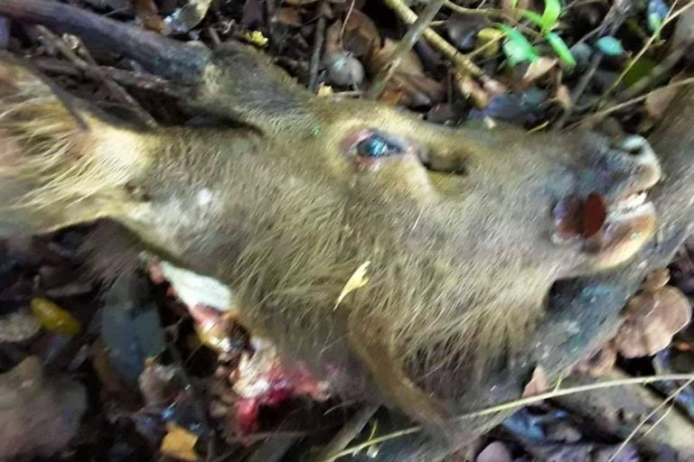 The head of a sambar deer killed by poachers on May 5, confiscated by officials from the Department of Wildlife Conservation. Image courtesy of the Department of Wildlife Conservation (DWC)/ Our Page.