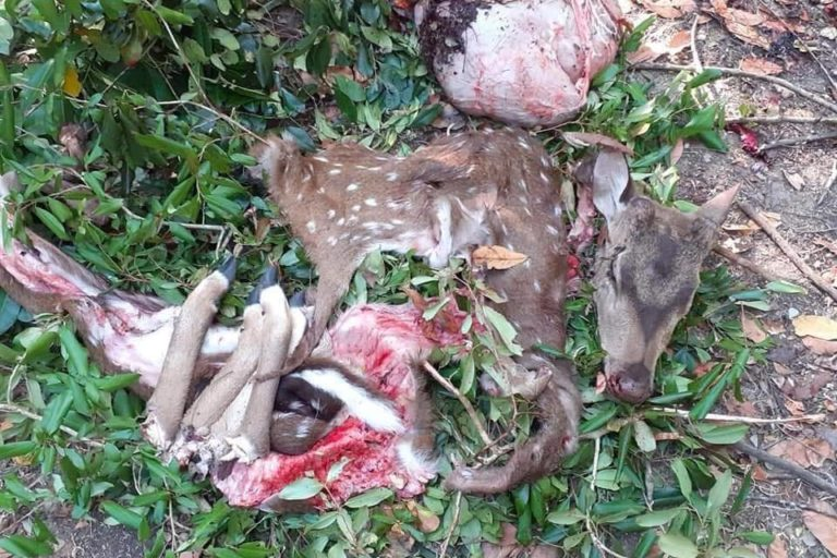 This spotted deer was killed on March 23, a week after Sri Lanka imposed an islandwide curfew to contain the spread of COVID-19 in the Indian Ocean island. Image courtesy of Dilahan Kavinda.