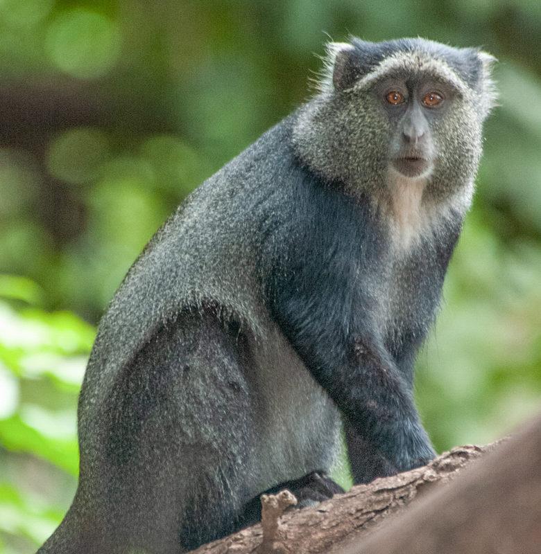Manyara monkey (Cercepithecus mitis manyaraensis), Lake Manyara National Park, Tanzania. Image courtesy Yvonne de Jong and Tom Butynski.