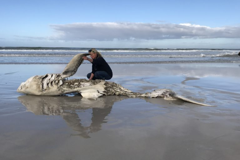 Great white carcass, Gansbaai. Image courtesy Hennie Otto/Marine Dynamics