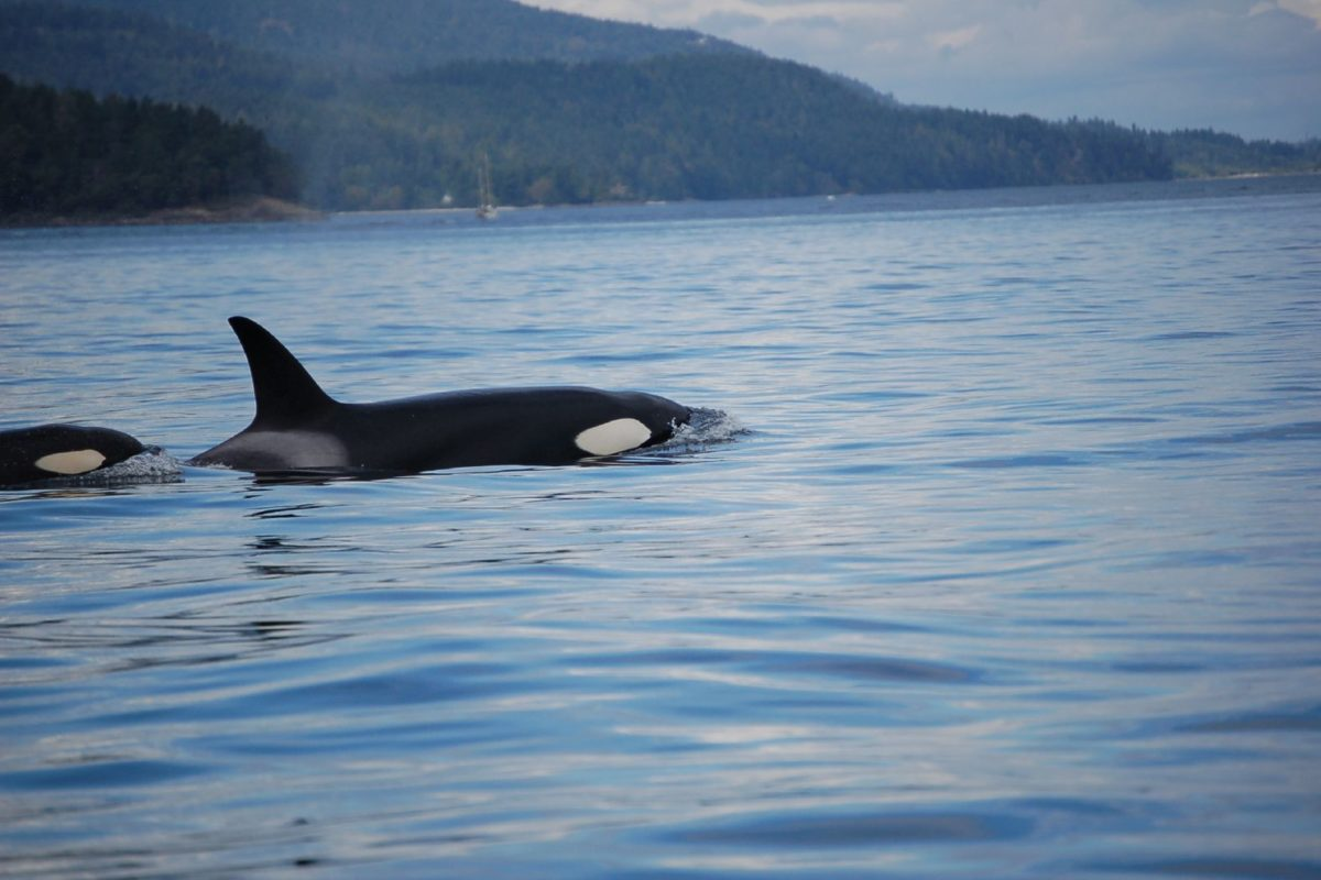 Orca off British Columbia. Image by Jellybeanz via Flickr (CC BY-NC-2.0)