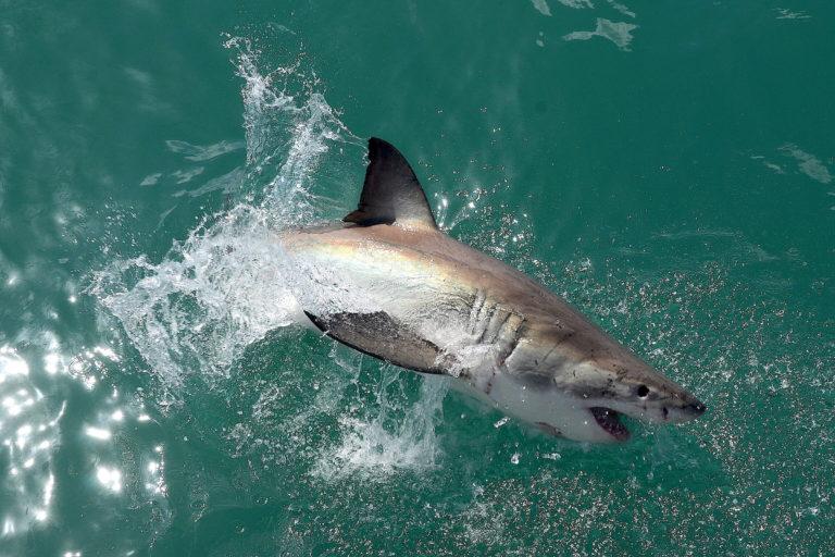 White shark, Gansbaai. Image by Olga Ernst via Wikimedia (CC BY-SA 4.0)