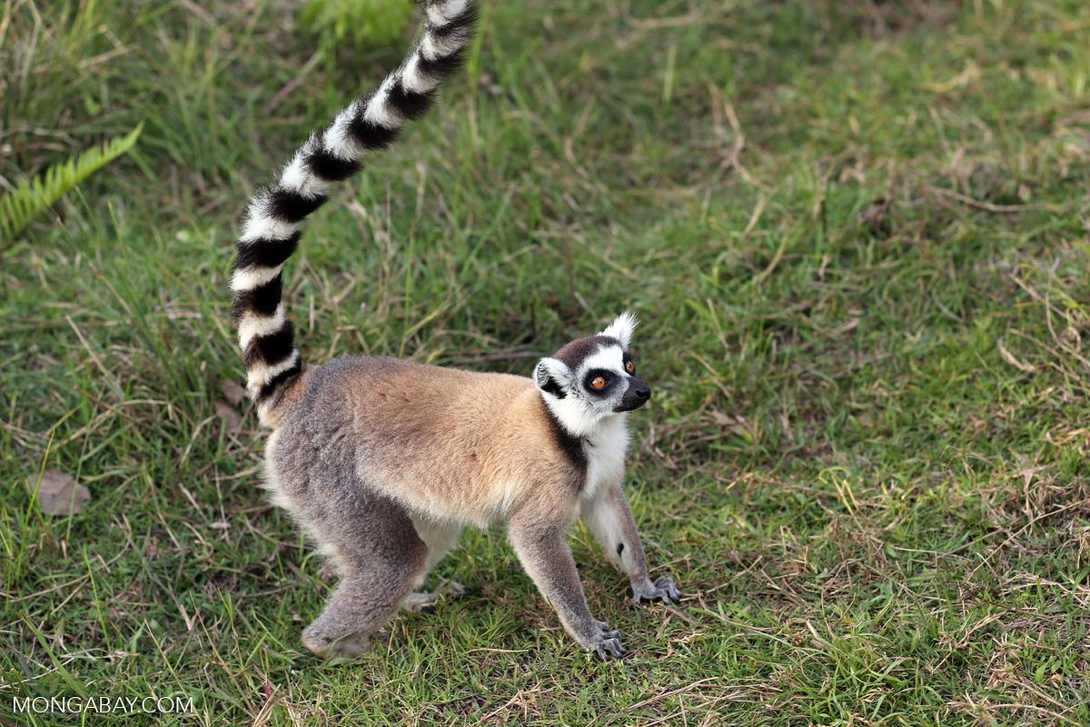 A ring-tailed lemur. Image by Rhett A. Butler.