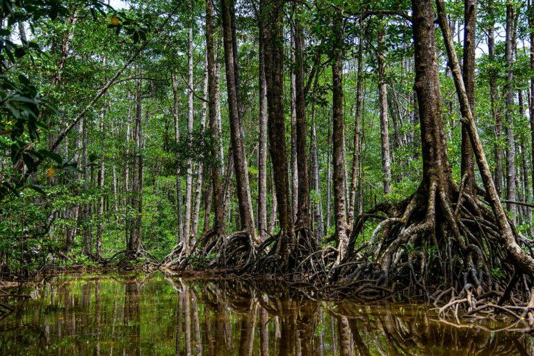 Mangroven in Puerto Princesa City, Palawan, Filippijnen.  Palawan heeft de grootste mangrovebedekking in de Filippijnen, maar wordt bedreigd door willekeurige kap, degradatie en de aantasting van menselijke nederzettingen.  Afbeelding door Kino Obusan via Wikimedia Commons (CC BY-SA 4.0)