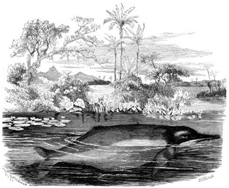 An Amazon river dolphin as depicted in the scientific text, Brehm's Animal Life, circa 1860s when the animals were still plentiful throughout their range. Image in the public domain.