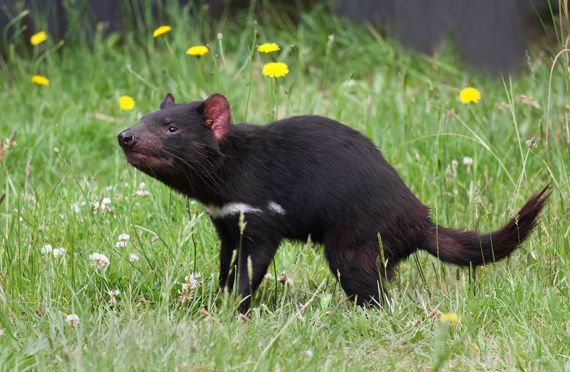 What is a Tasmanian devil? Candid Animal Cam meets the largest carnivorous marsupial in the world