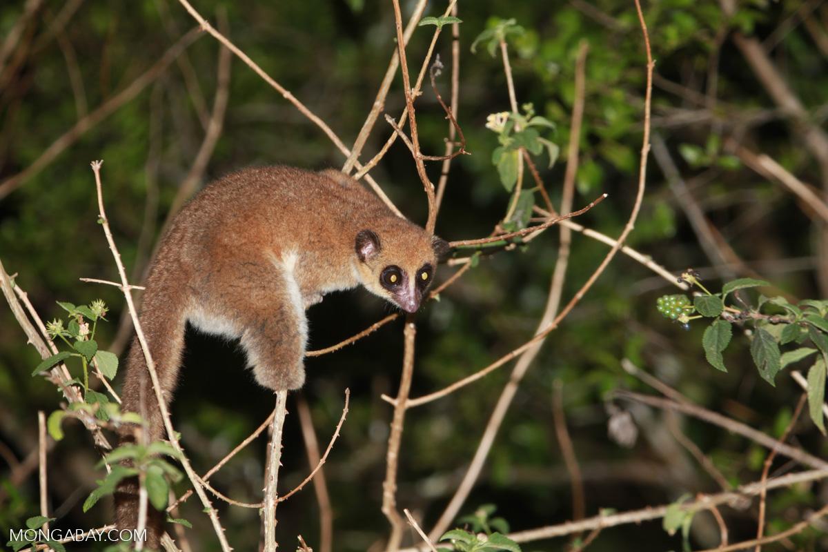 Cheirogaleus medius fat tailed lemur