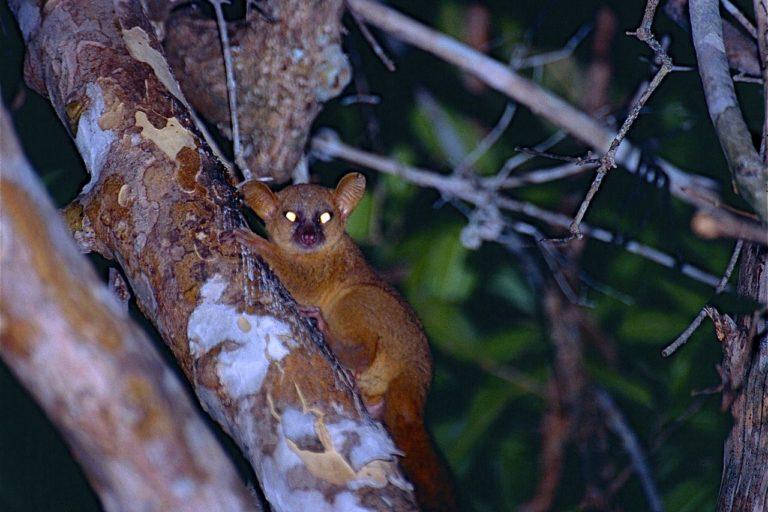 Coquerel's_Giant_Mouse_Lemur_(Mirza_coquereli)_(9582471256)
