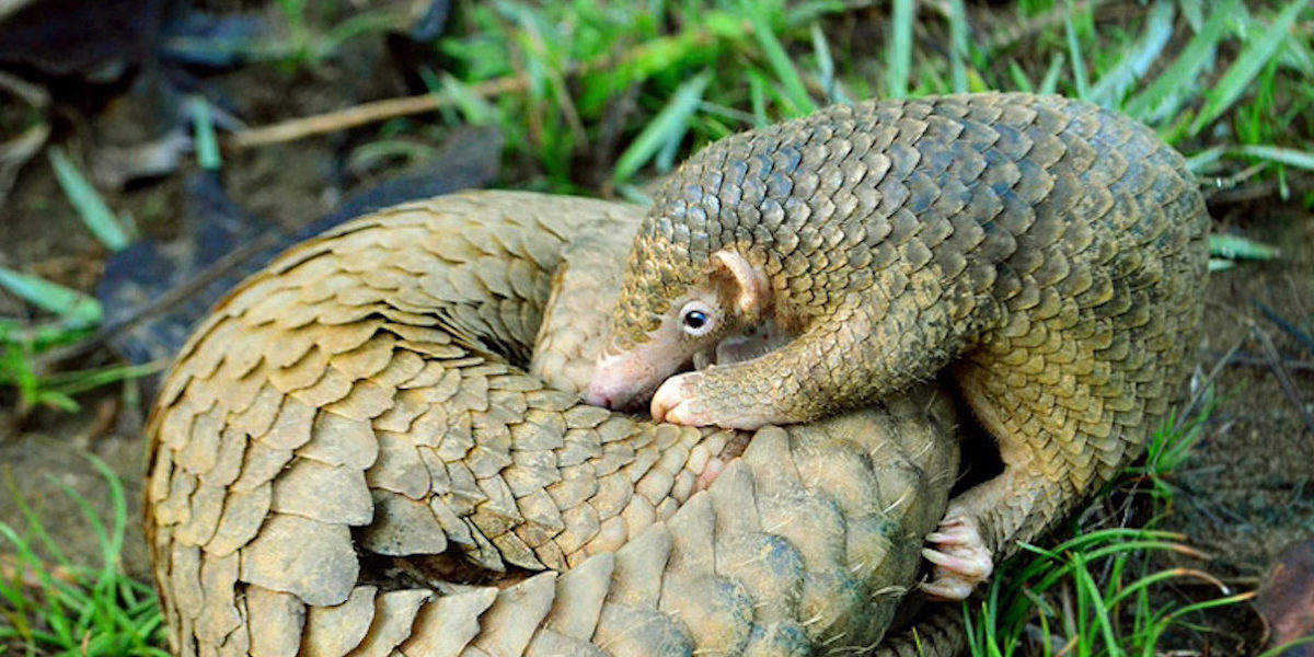 Did China really ban the pangolin trade? Not quite, investigators say