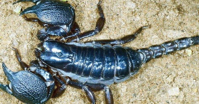 An Intrusive Killer Scorpion Points The Way To Six New Species In Sri Lanka