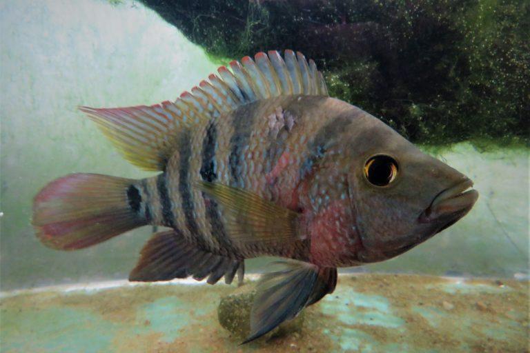 In Sri Lanka The Hunt Is On For Alien Fish In Native Lakes