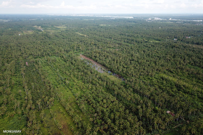 Former lowland rainforest replaced with cocnut in West Kalimantan, Indonesia.