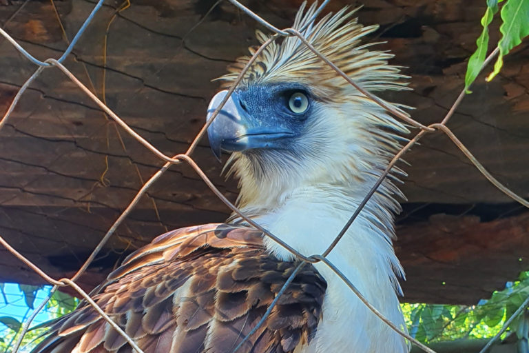 Eagle Siocon, a juvenile Philippine eagle rescued at the height of the country's pandemic lockdown last April, was the first eagle rescued during the pandemic. Siocon was released back to the wild with a GPS tracker last May. Image courtesy of the Philippine Eagle Foundation
