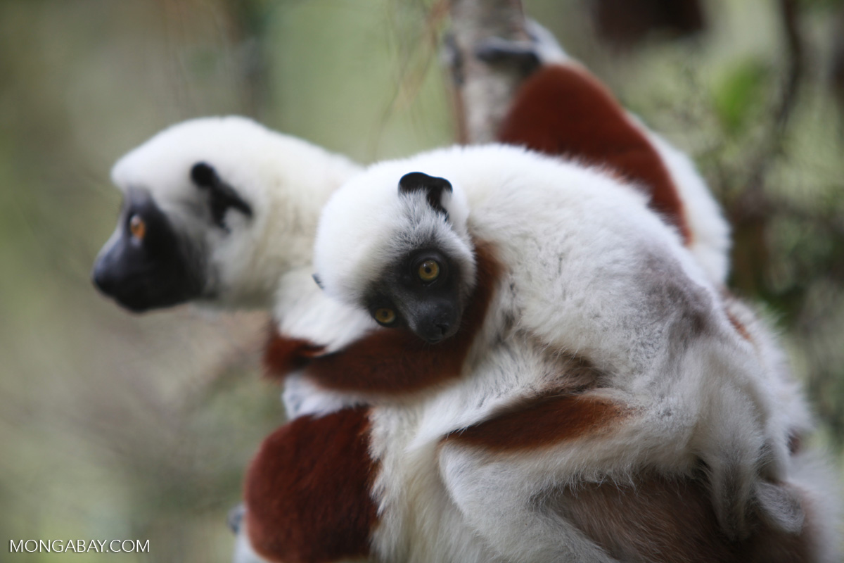 A third of Madagascar's lemur species on the brink of extinction, IUCN warns