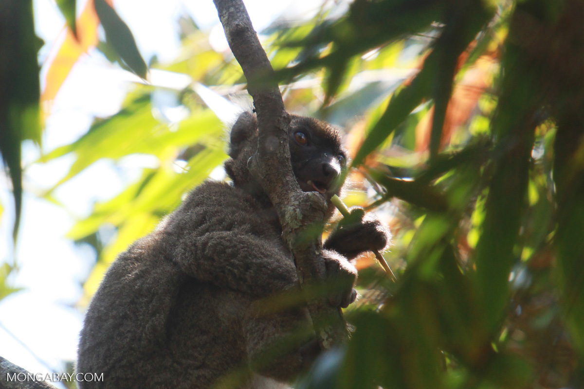 A greater bamboo lemur