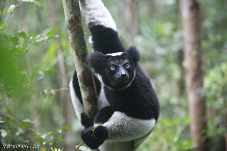 An Indri lemur (Indri indri). Image by Rhett A. Butler/Mongabay.