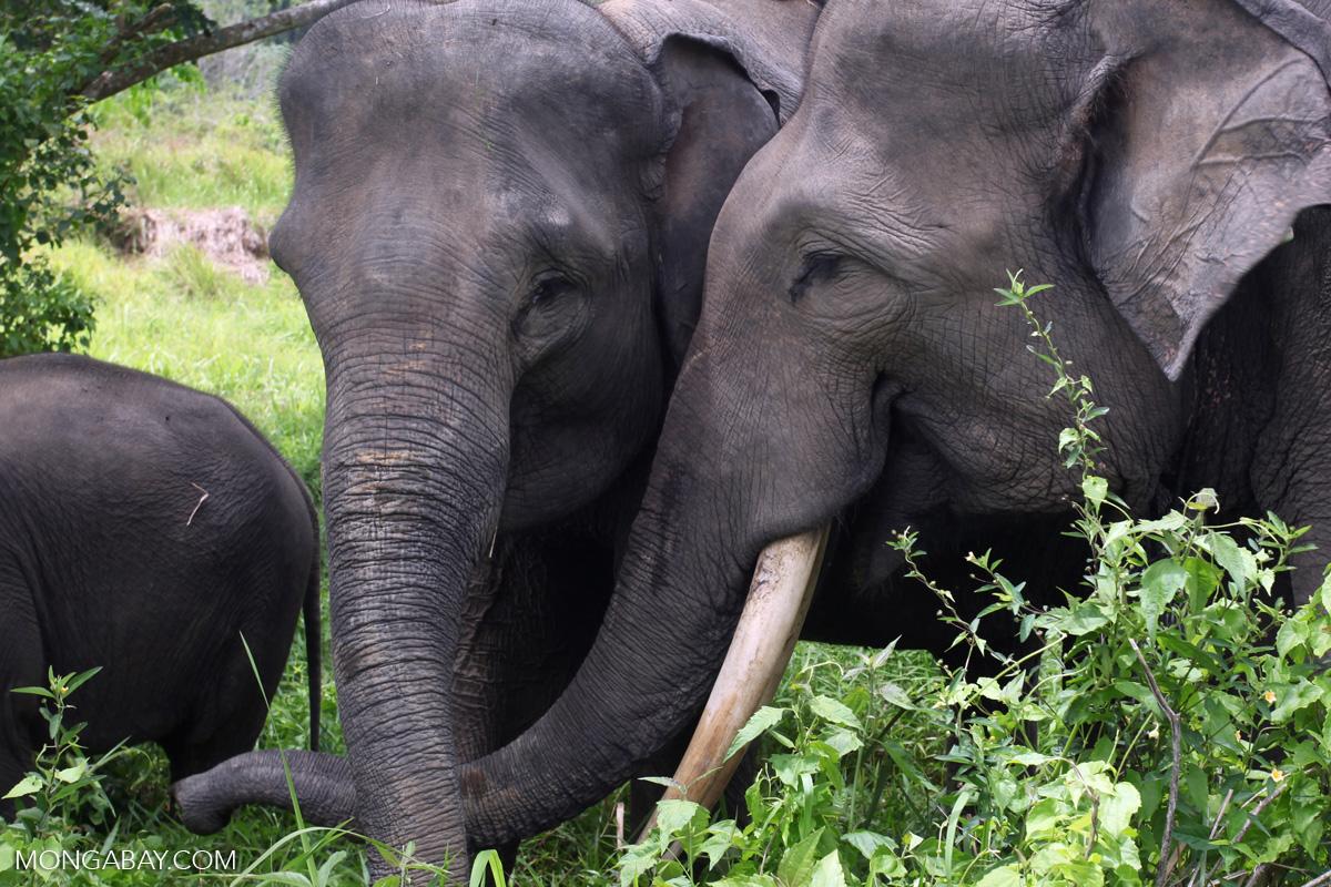Sumatran elephants. Photo by Rhett A. Butler.