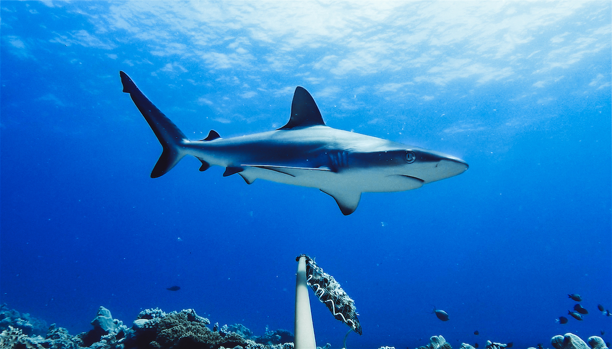 Sharks Are Functionally Extinct In Many Global Reef Systems Study Finds