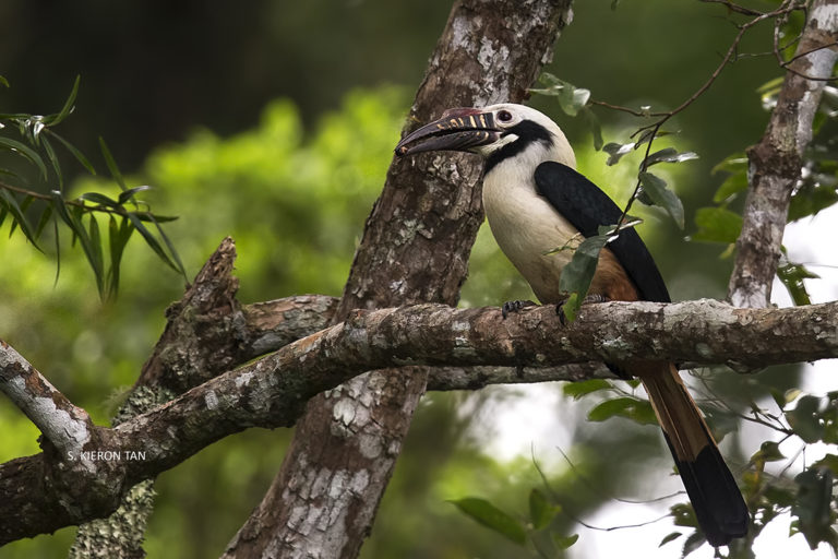 Ornithologists discover more rare hornbills than thought on Philippine island