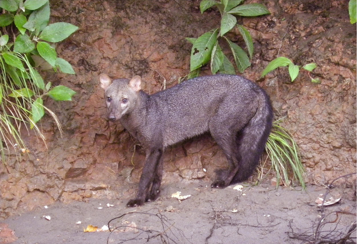The Amazon's short-eared dog was thought to be a scavenger. Now there's video