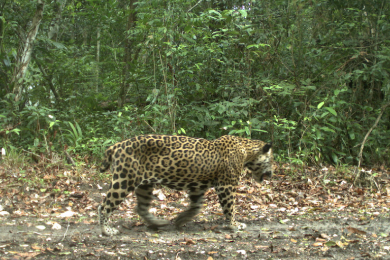 "A jaguar nicknamed ""Short-Tail"" the first known to cross between Belize and Guatemala"