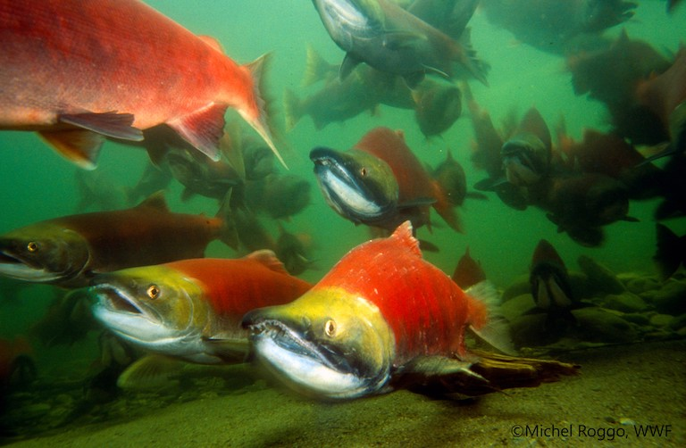 Migratory freshwater fish in peril as report shows population plunge