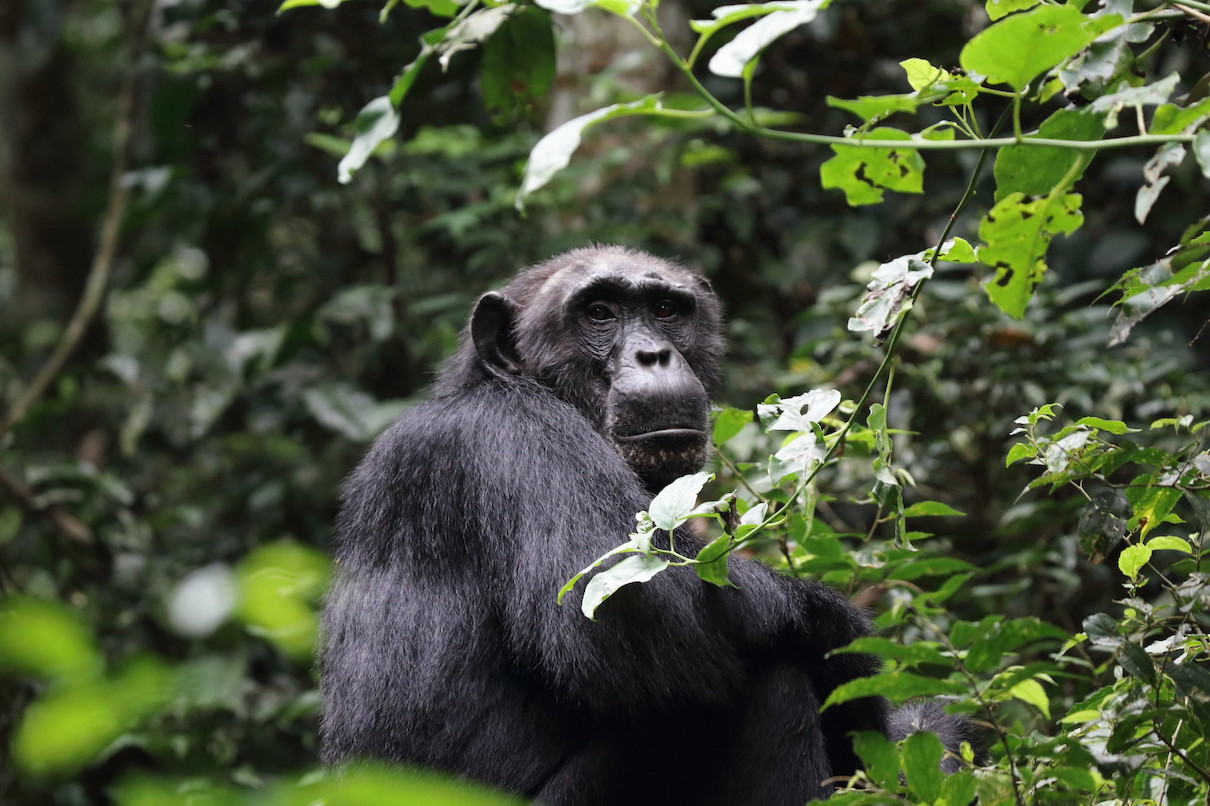 For tool-wielding chimps of Ebo Forest, logging plan is a 'death sentence'