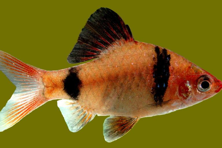 New Assessment Shows 74 Of Sri Lanka S Freshwater Fish Threatened With Extinction