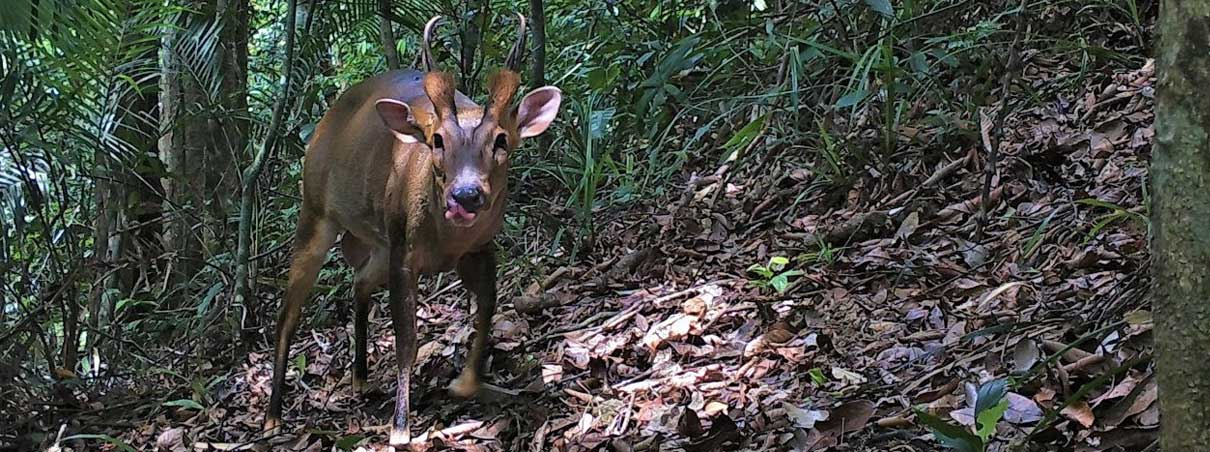 The Large Antlered Muntjac Southeast Asia S Mystery Deer Commentary