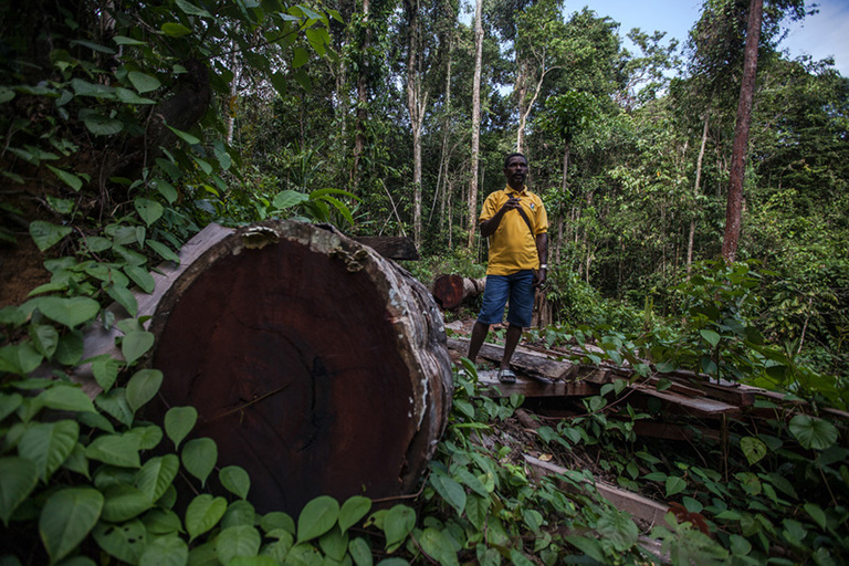 The author, Arkilaus Kladit, in 2018 showing cut an old Merbau tree inside the forest among Sira village, Teminabuan, South Sorong, West Papua. Credit line: © Jurnasyanto Sukarno / Greenpeace