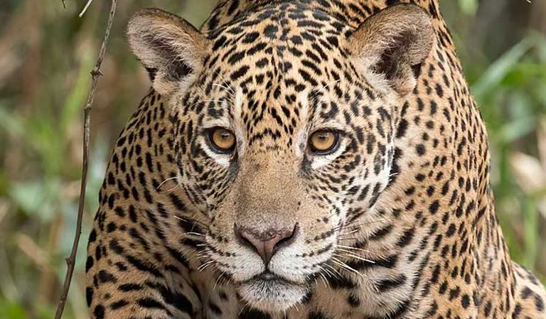 Is Chinese investment driving a sharp increase in jaguar poaching?