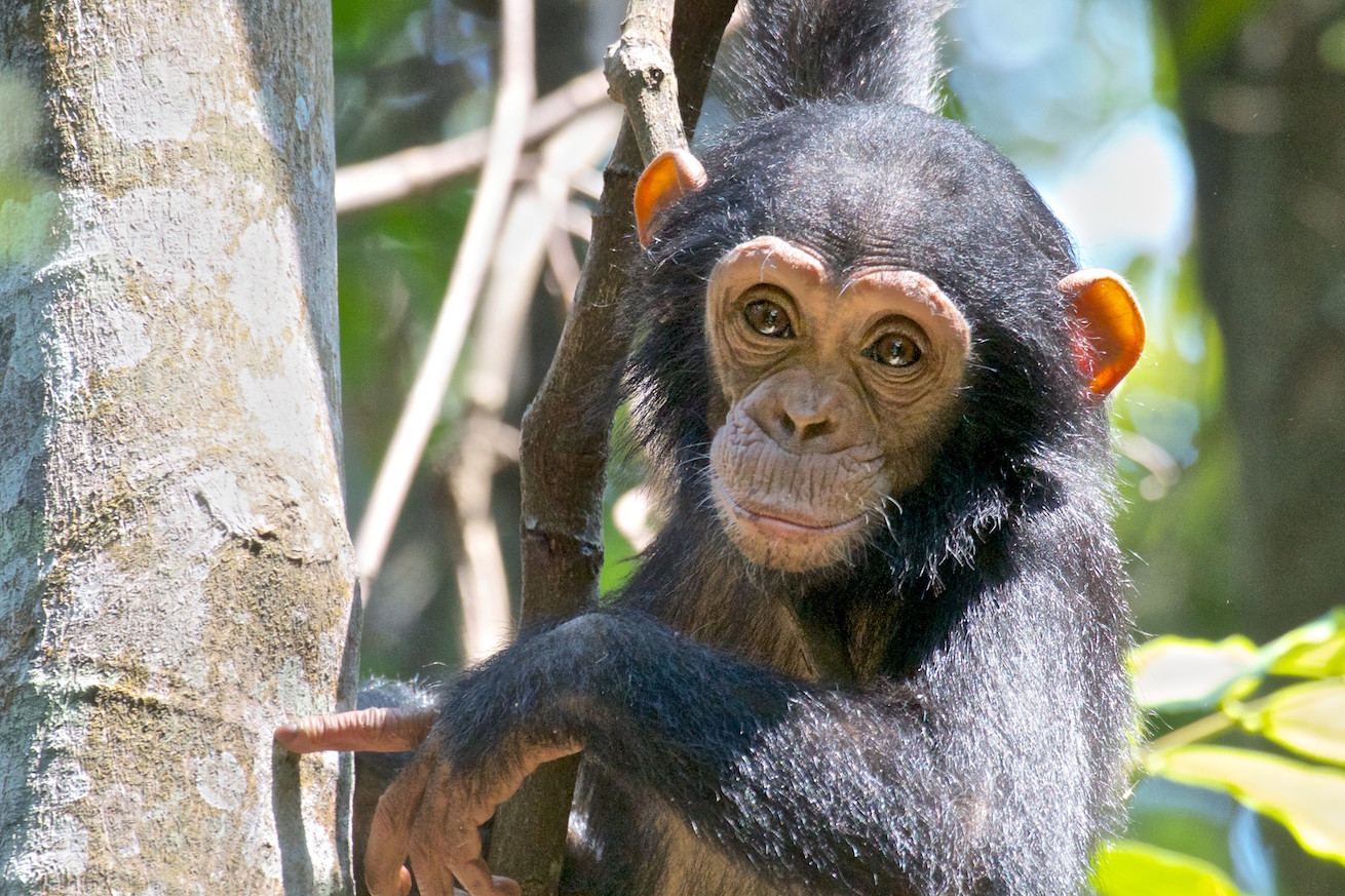 A genetic map hopes to trace rescued chimps back to their homes