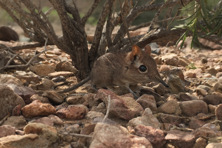 Elephant shrew 'lost' to science for 52 years is 'rediscovered' in Africa